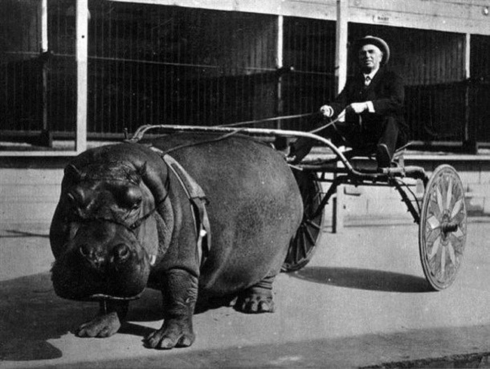Цирковой гиппопотам, запряженный в повозку, 1924 год.
