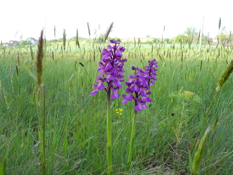 фиолетовый весенний цветок в сербии