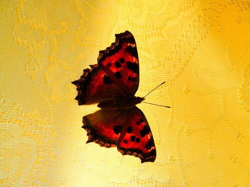 Бабочка в гостях