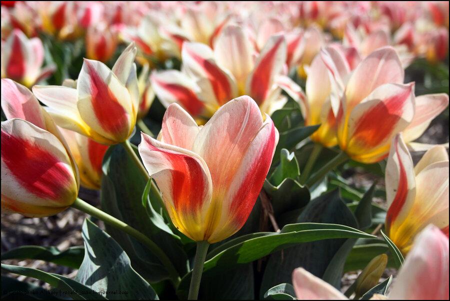 Где можно купить тюльпаны phpbb цветы северодвинск купить