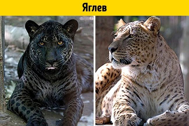© depositphotos  Гибрид ягуара ильвицы— это поистине величественное зрелище. Два самых извес