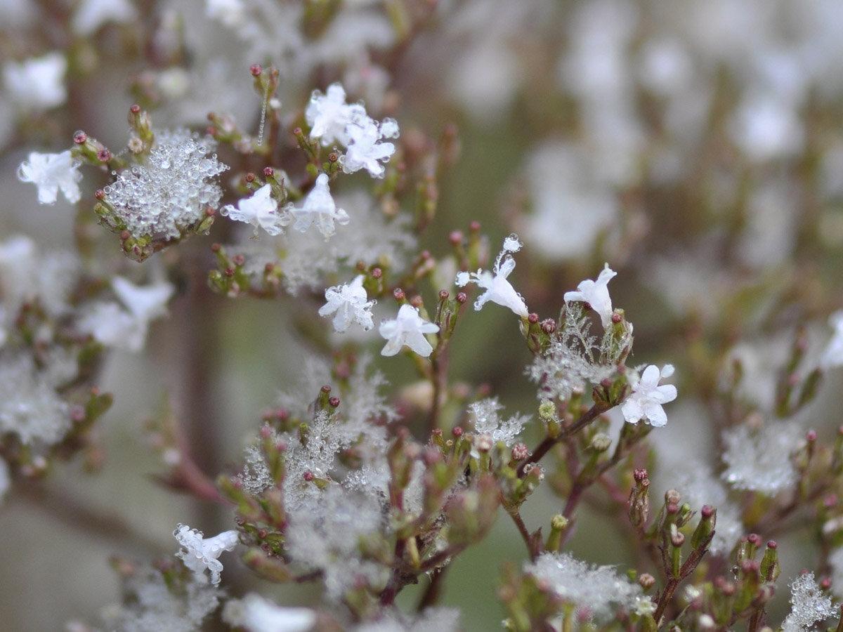 Валериана лекарственная (Valeriana officinalis) Автор фото: Владимир Брюхов