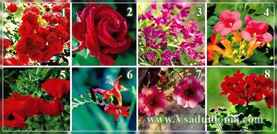 красные цветы для цветника фото