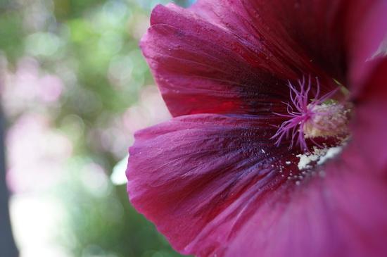 мальва цветы