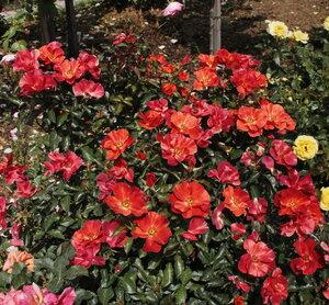 Роза флорибунда Тони Тайгер (Tawny Tiger) Fryer's Roses 2003 Посадка 2011 года