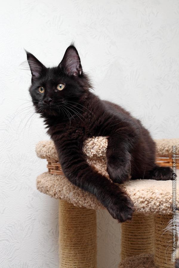 черный котенок Мейн-кун продажа в Москве