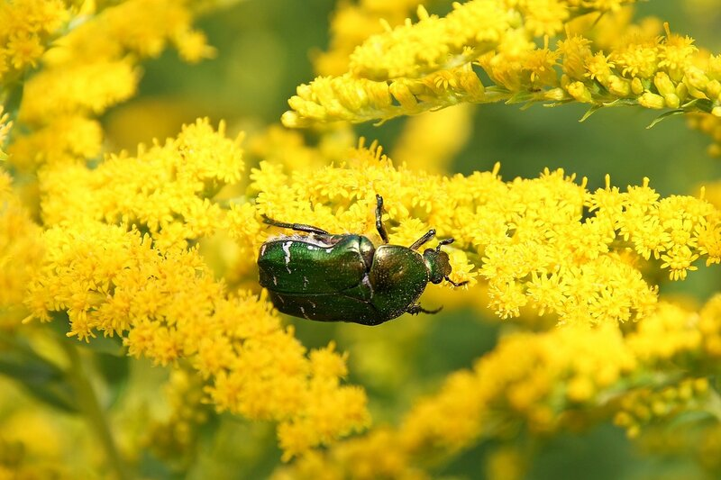 Зелёная с металлическим отливом бронзовка на жёлтом цветке северной мимозы 7096