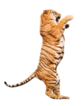 тигры       2.png