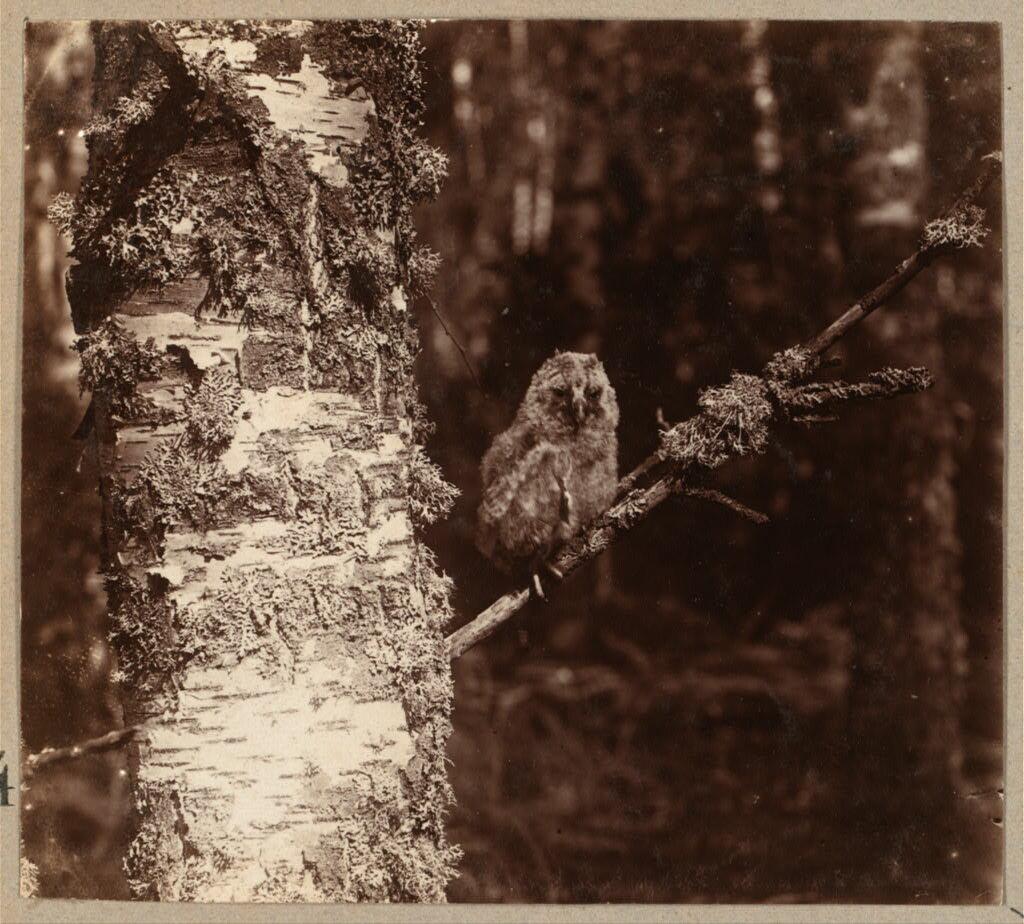 Молодая сова в лесу. Этюды. 1910.