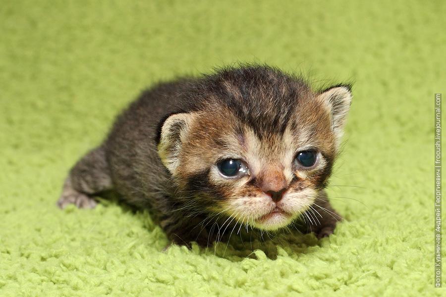купить котенка Бомбеи нетрадиционных окрасов