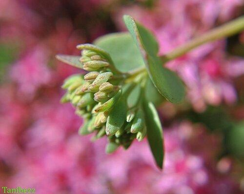 Очиток (очитник) Эверса / Sedum (hylotelephium) Ewersii