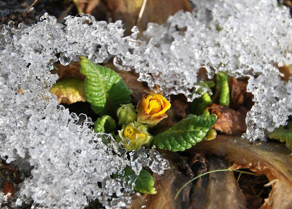 Примула гибридная / Primula hybrida