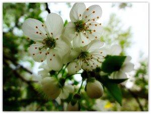 Цветение весны.