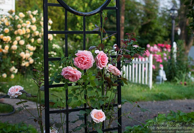 Rosa America Pearly Gates-9755