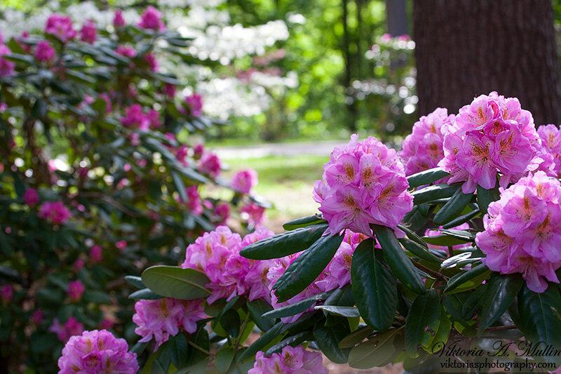 Цветут рододендроны_0984