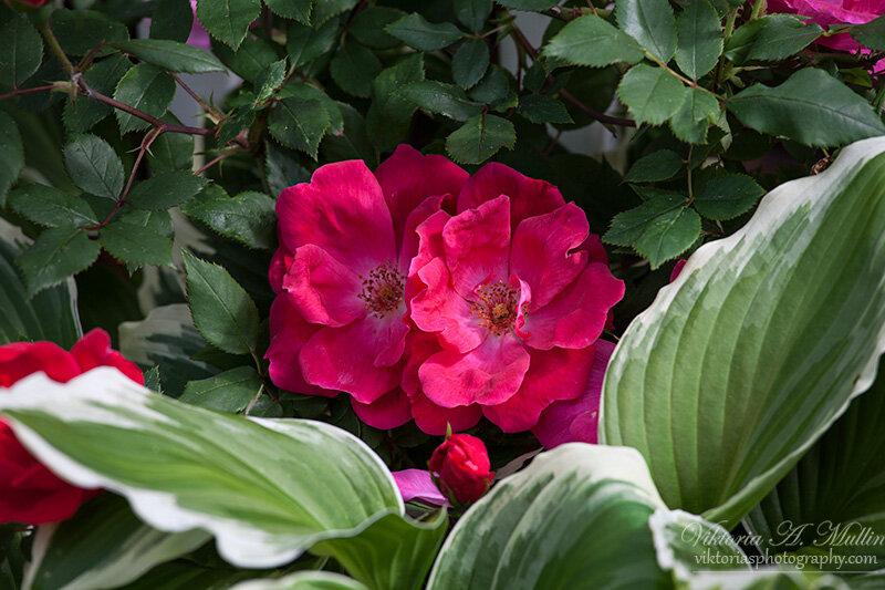 у заборчика, мои розы сквозь него пытаются протиснуться в большой мир
