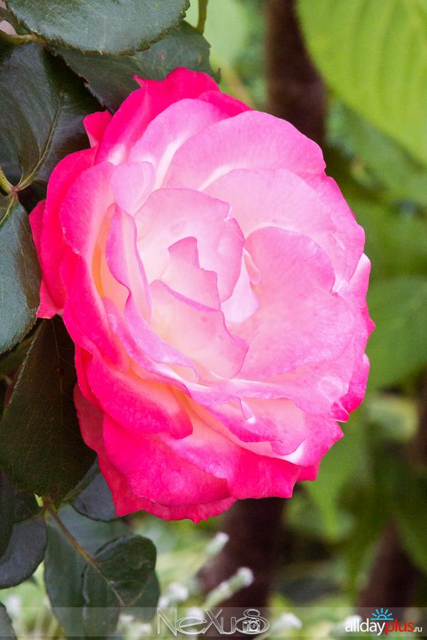 Я люблю все цветы, выпуск 186 | Роза - «Королева цветов».