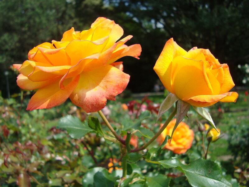 Золото роз