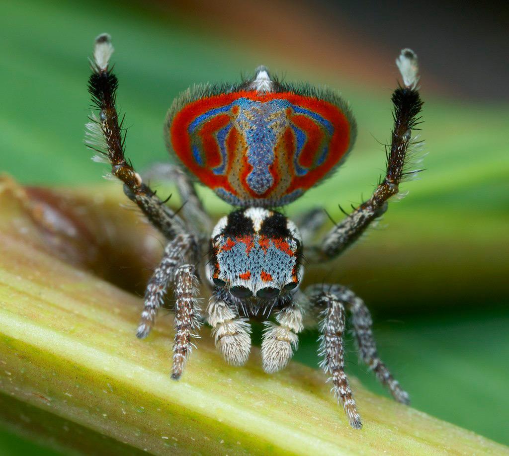 3 Как и самцы павлина с их красочными перьями, самцы этого паука имеют красивые яркие