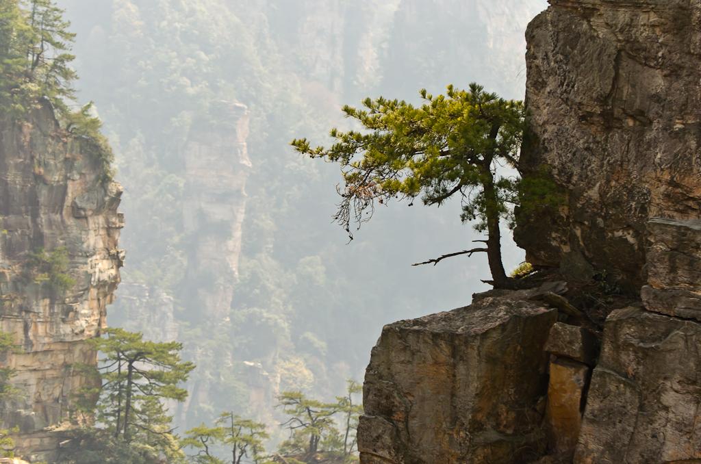 Фотография 12. Как мы добрались в заповедник Чжанцзяцзе. Одинокая сосна