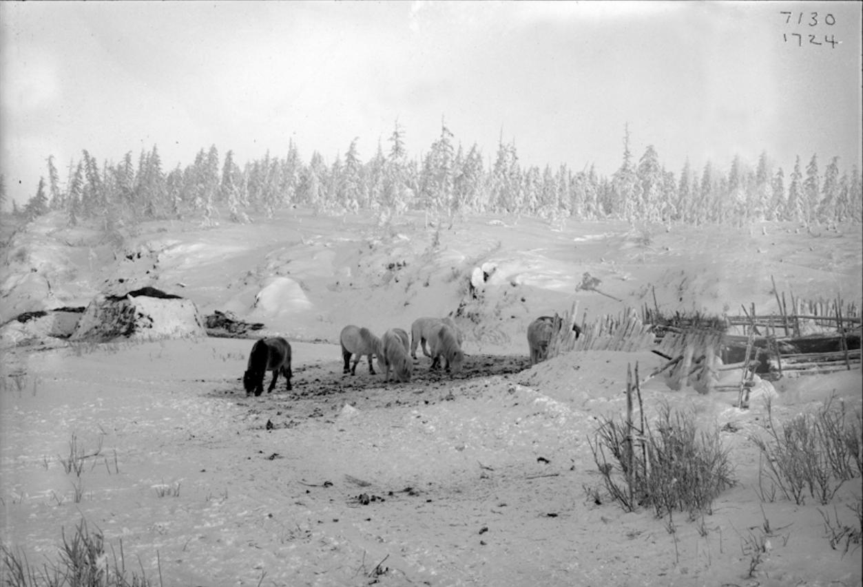 Животные возле загона, 1902