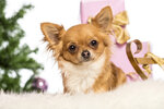 Chihuahua lying in front of Christmas decorations against white background