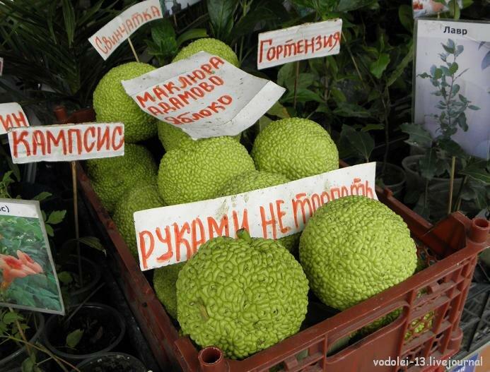 Яблоко Адамово