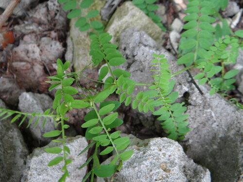 Горошек лесной (Vicia sylvatica) Автор: Привалова Марина