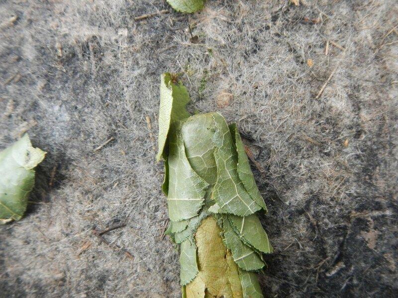 Кладка яиц неизвестного насекомого DSCN4683.JPG