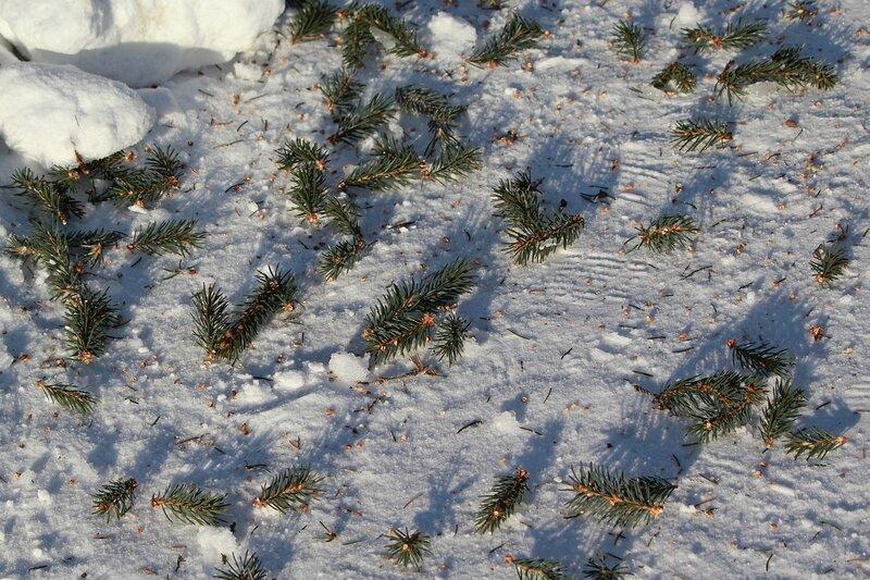 IMG_1936 ветки ели на снегу, оборванные белочкой