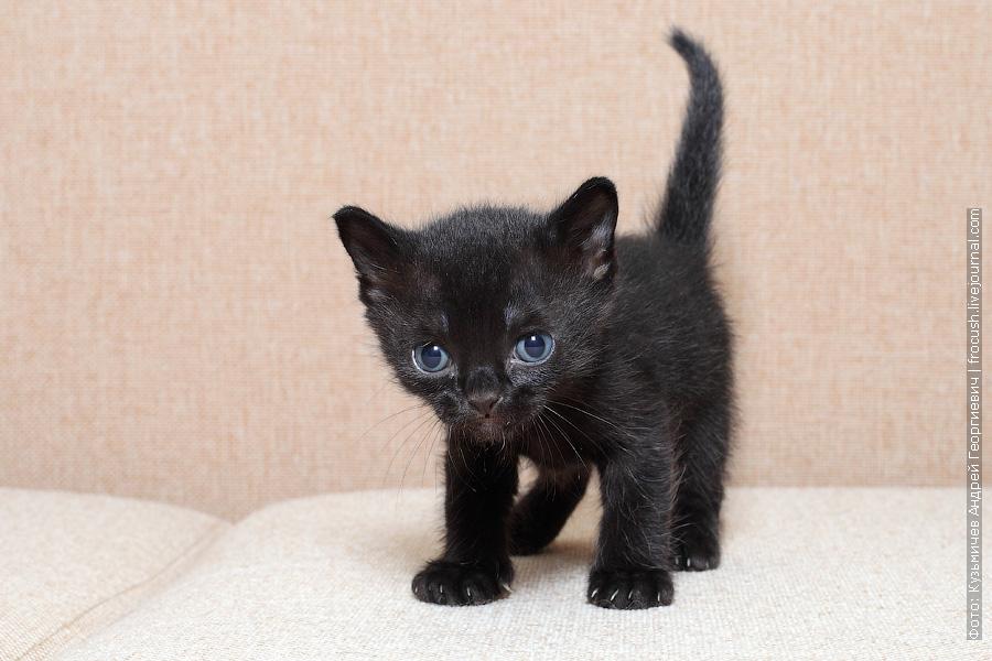 из питомника Бомбейские котята