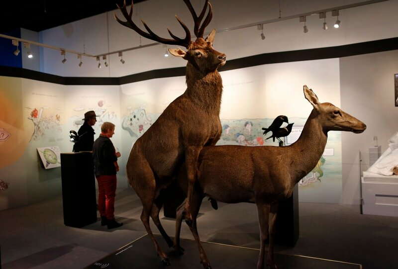 Stuffed copulating deer are displayed at exhibition