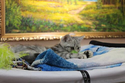 """Международная выставка кошек AFC """"Удивительные лесные кошки"""", 1 марта 2014 г. Сургут - Страница 3 0_e49ae_fa683aa_L"""