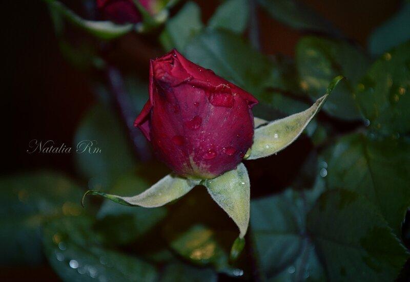 озябшие розы