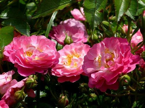 Розы Ботанического сада