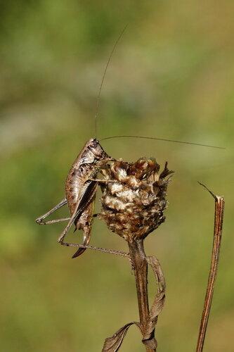 Кустолюбка пепельная (Pholidoptera griseoaptera)