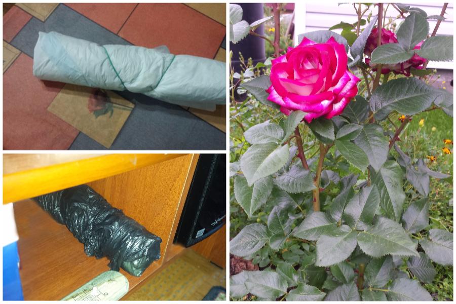 Черенкование роз в газете по методу буррито - мой опыт