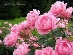 розы без_имяшки