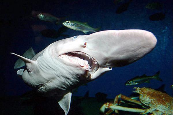 Этого глубоководного обитателя иногда называют живым ископаемым. Грозная акула выглядит так странно