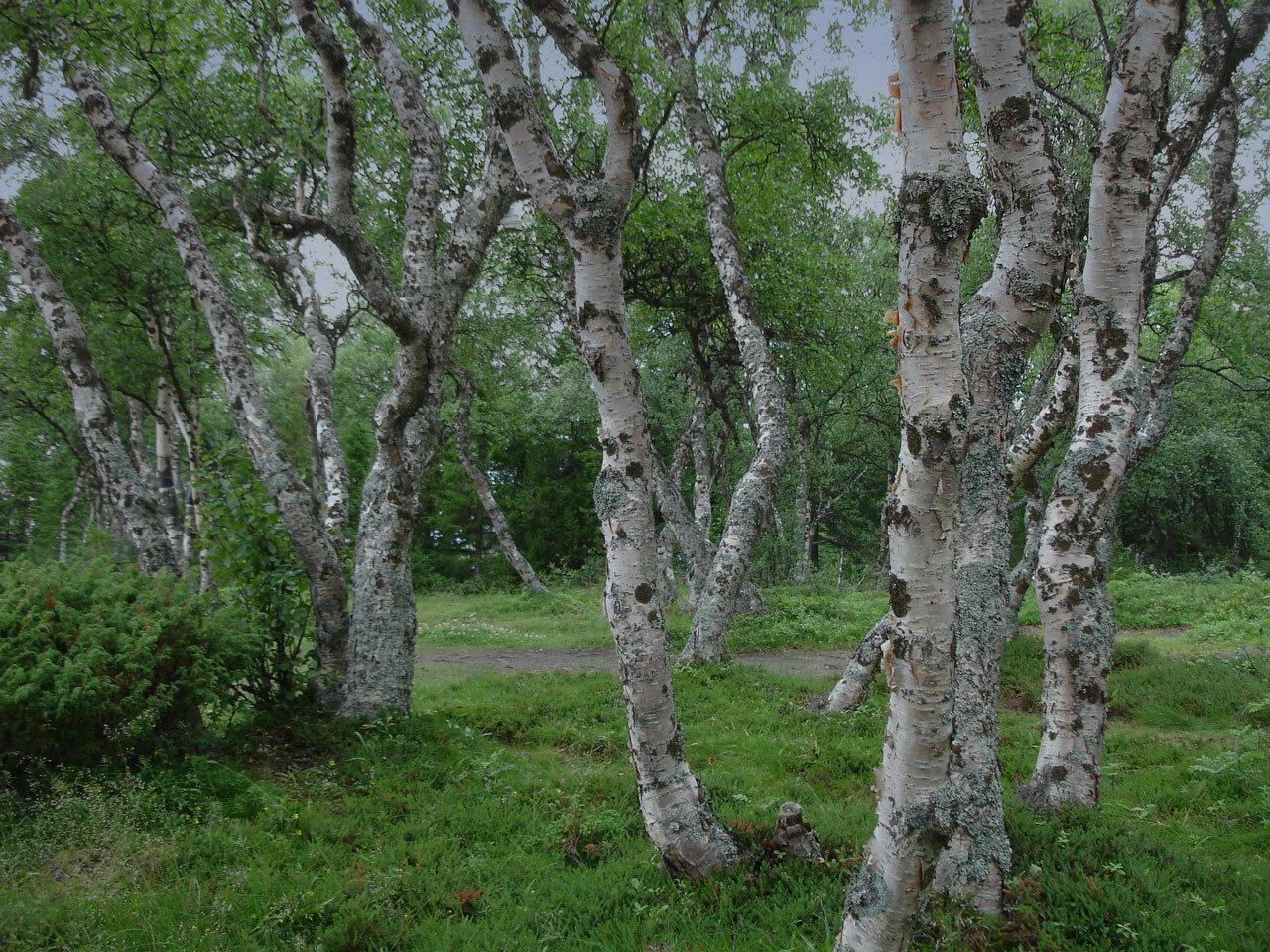 Берёза карельская (Betula pendula var. carelica). Автор фото: Юрий Семенов