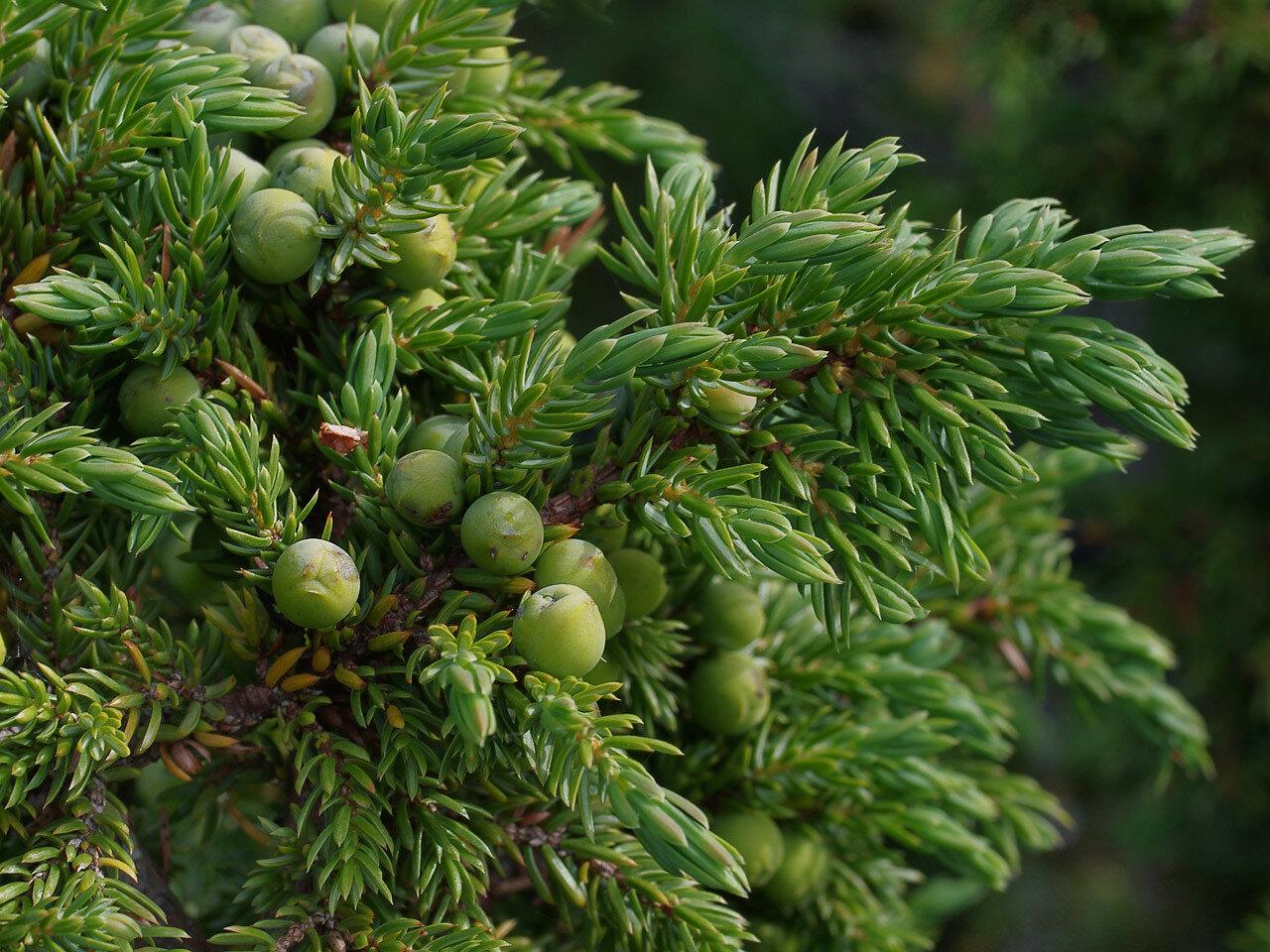 Можжевельник обыкновенный (Juniperus communis). Автор фото: Юрий Семенов