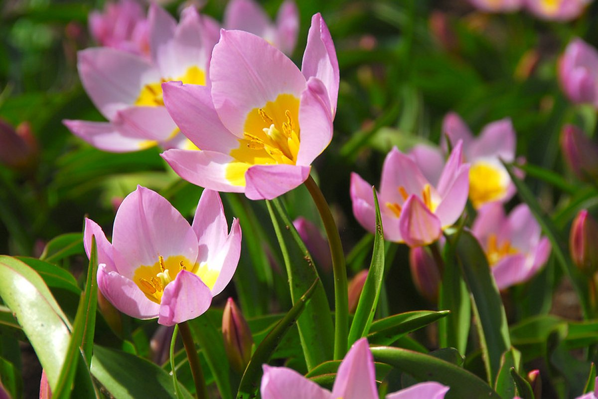 Купить тюльпаны к 8 Марта