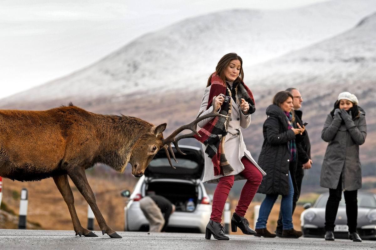 Терпеть не могу слишком любопытных туристок!: Шотландский олень на проезжей части