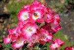 IMG_5849  1.jpg  роза мускусный  гибрид  Букаву (Bukavu) , Lens,  1998