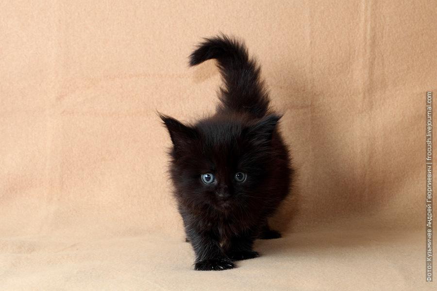 резервирование котят мейн кун