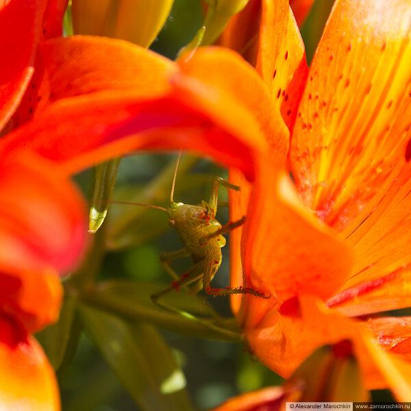 Кузнечик в лилиях