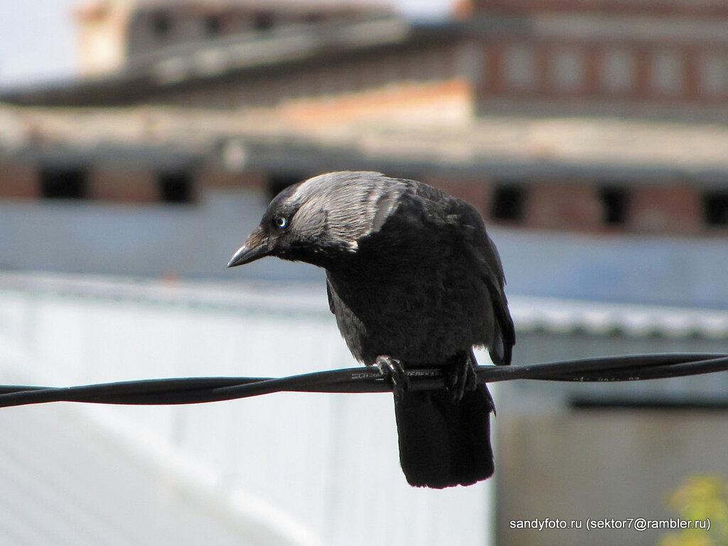 Фотосессия птицы галки