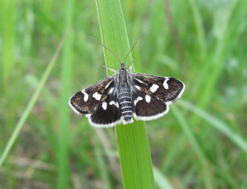 Мотылёк красивый (Eurrhypis pollinalis)Альбом:  Бабочки-2
