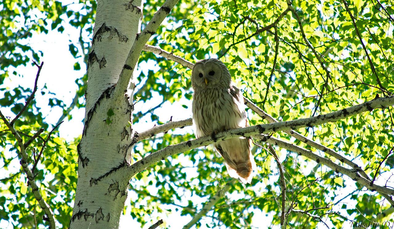 Картинки по запросу сибирские совы