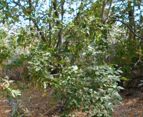 Ветви и листья ... DSCN1412 - 2.JPG